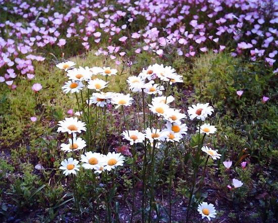 VQ1005で近所の花を撮ったり