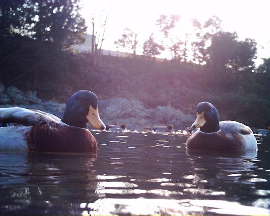 静かに近づき、鴨を撮影