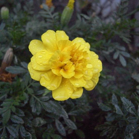 雨が止んだ時に外に出てパシャリ(´ー`)濡れた花って好きです。