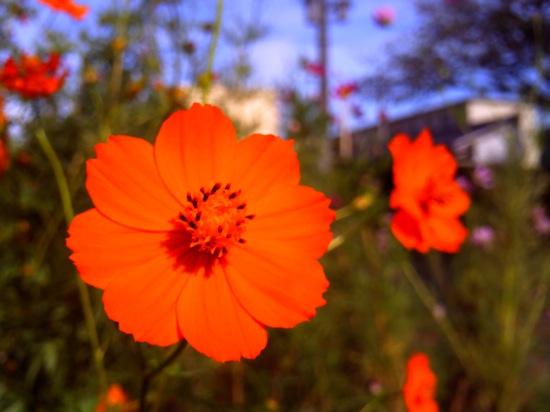 これってなんて花?コスモスと一緒に咲いてるけど:Vivitar ViviCam 5050
