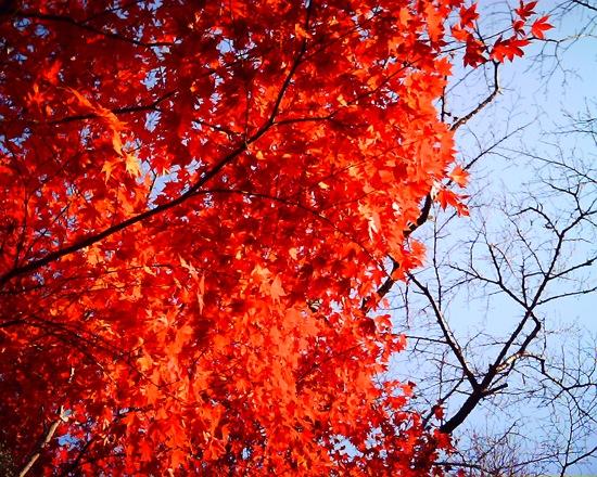 VQ1005:紅葉