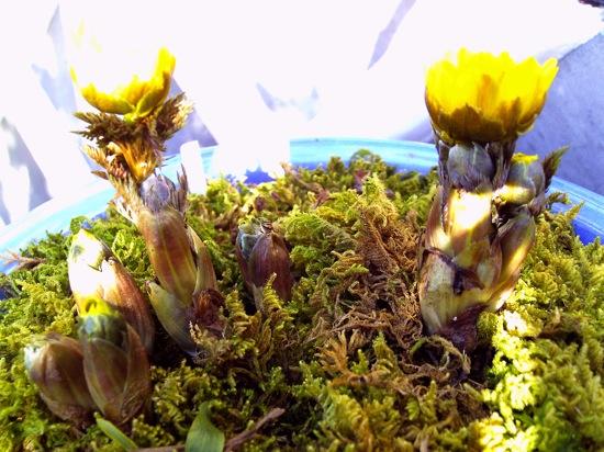 福寿草が植えられた鉢