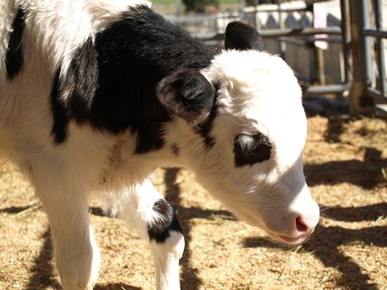 やっぱり子牛は毛も柔らかそうでフワフワしてましたよ♪かわいいなー!