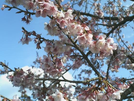 同じく昨日撮った晴れの桜ちゃん(*´ω`*)
