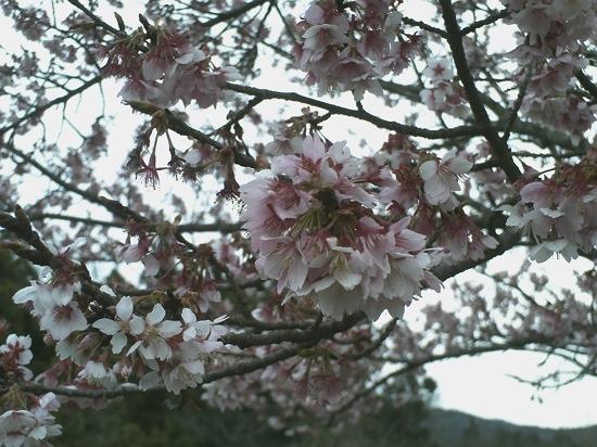 これが今日曇り空で撮った桜です。