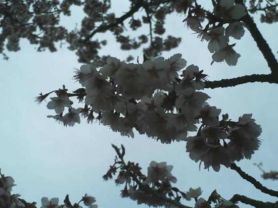 これが今日撮った桜、、、なに、、このホラー写真。。。