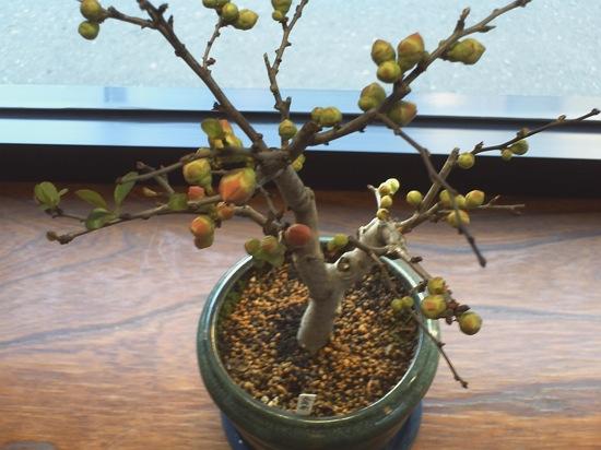 こちらはミニ盆栽。ボケの仲間だったかな?