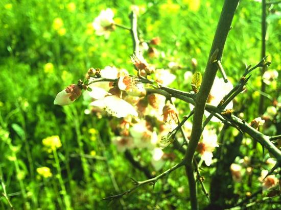 菜の花とか:fuze DC517
