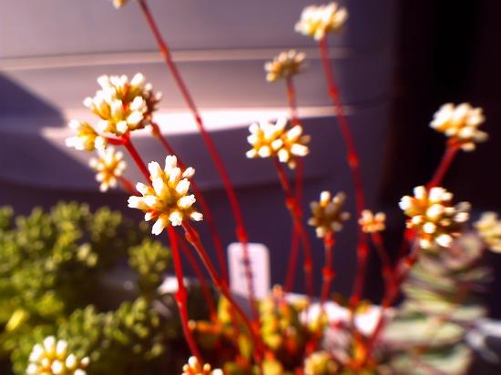 紅稚児の花が伸びてきてカワイイ♪