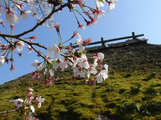 わらぶっきーと桜。