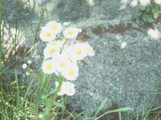 白い花:fpiedi FP500G1