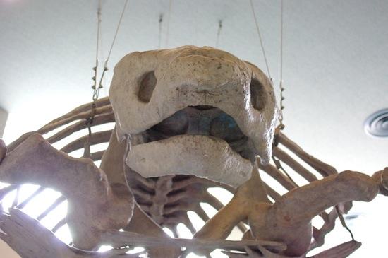 これはカメの骨だったかな。とぼけた顔してるぜ!