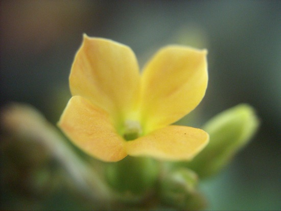 なんかカランコエの仲間だったかな?黄色い花が咲いてました。