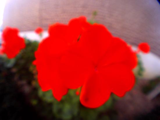 絵の具で塗ったみたい!赤い花!