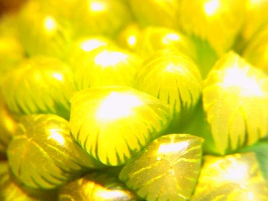 黄オブツーサ!
