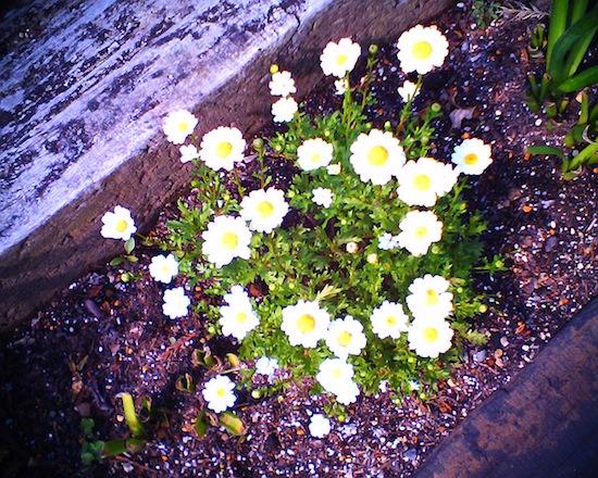 土は腐って花は浮き出てるし。