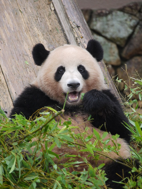 食べてるか寝てるか・・そんなパンダ・・愛おしい!