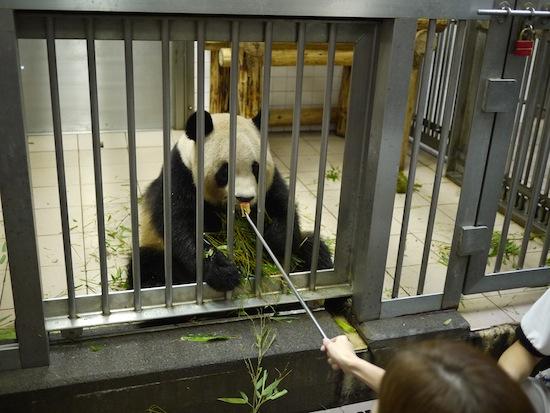 パンダバックヤードツアーに参加しました。間近でパンダにエサとかあげれる素晴らしい有料プラン!