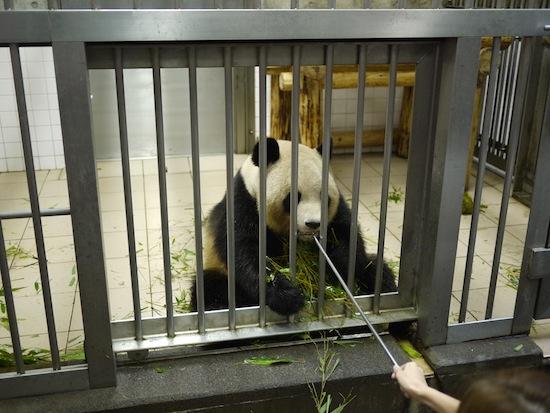 パクッ!ところでパンダは間近でも臭くないんですよ!ほとんど笹しか食べてないからね!