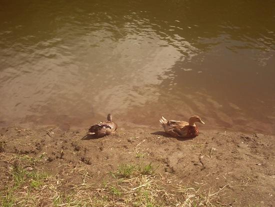 とりあえず鴨がいたら撮るって事で。