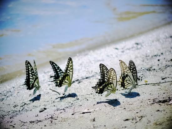 蝶々の吸水行動:LUMIX DMC-GF1