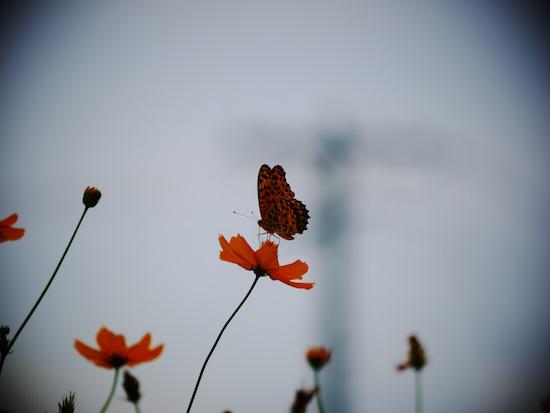 蝶々とコスモス