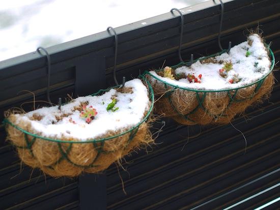 雪に埋まった多肉さんも可愛い(*´ω`*)