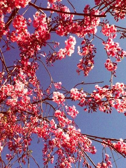 意外と撮るのが難しい桜だって!ほら!桜色に!