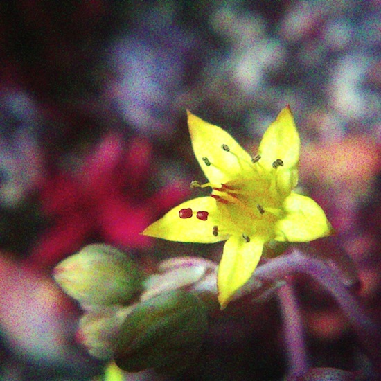 多肉植物にも花が咲く季節になりました。