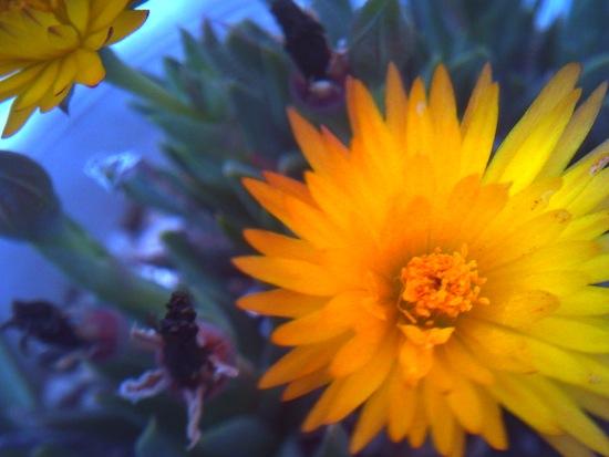 毎日三時になると咲く三時草。なんで時間が分かるのか、、不思議。