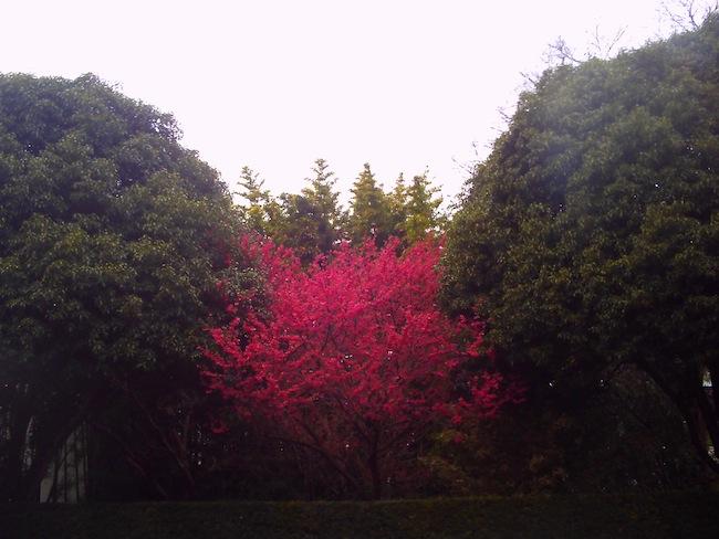 梅かな?桜かな?雨の中浮き出るような原色が撮れました。